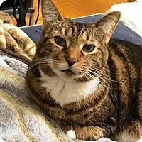 Adopt A Pet :: Tig - Vancouver, BC