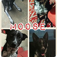 Adopt A Pet :: Moose meet me 1/27 - Manchester, CT