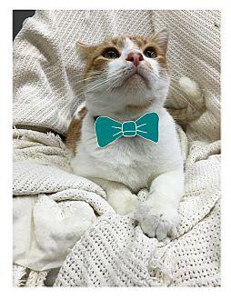 Domestic Shorthair Cat for adoption in Paducah, Kentucky - Keifer