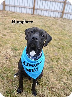 Labrador Retriever Mix Dog for adoption in Independence, Missouri - Humphrey