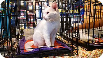 Domestic Shorthair Cat for adoption in Fischer, Texas - Loretta