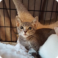 Russian Blue Cat for adoption in Monrovia, California - Sebastian