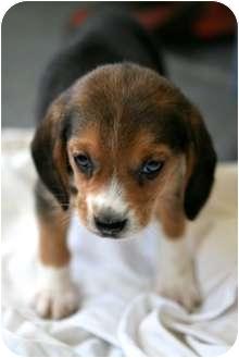 where can i adopt a beagle puppy