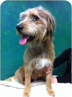 Milo | Adopted Puppy | Goleta, CA | Australian Shepherd ...