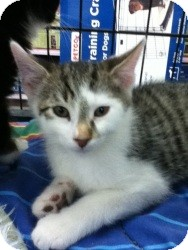 Domestic Shorthair Kitten for adoption in Riverside, Rhode Island - Ryan