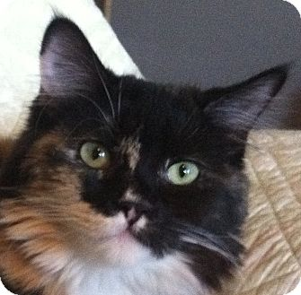 Domestic Longhair Kitten for adoption in Winchester, California - Sue Anne