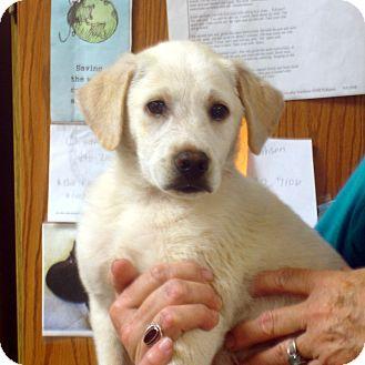 Labrador Retriever Mix Puppy for adoption in baltimore, Maryland - Chester