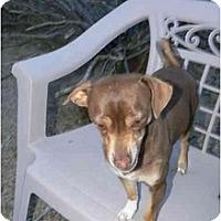 Miniature Pinscher Mix Dog for adoption in Thatcher, Arizona - Perry