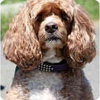 Adopt A Pet :: Sugar - Tacoma, WA
