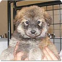 Adopt A Pet :: Brina - Alexandria, VA