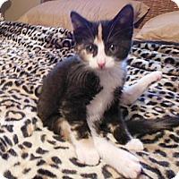 Adopt A Pet :: Pebbles - Southington, CT