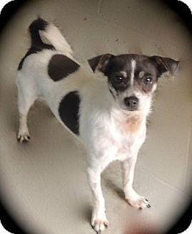 Chihuahua Mix Dog for adoption in Joplin, Missouri - Dudley