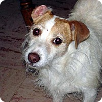Jack Russell Terrier Dog for adoption in Norwich, New York - STILLMISSING JACK RUSSELL  CHESTER - Reward