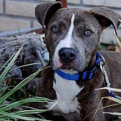 Photo 1 - Pit Bull Terrier Mix Dog for adoption in Orlando, Florida - Egypt