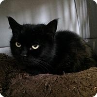 Domestic Mediumhair Cat for adoption in Greensburg, Pennsylvania - Smokie