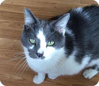 Domestic Shorthair Cat for adoption in O'Fallon, Missouri - Jackson (aka Spaz)