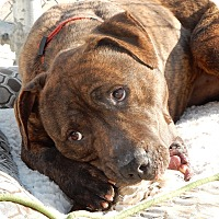 Adopt A Pet :: Brownie - Long Beach, NY