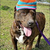 Adopt A Pet :: Tiger Lily - N - Huntington, NY