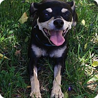 Adopt A Pet :: Sherrie - La Habra Heights, CA