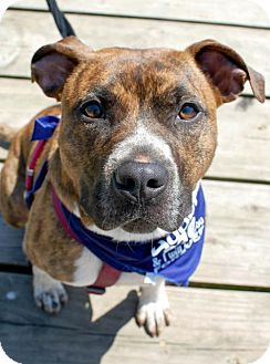 American Pit Bull Terrier Mix Dog for adoption in Fredericksburg, Virginia - Rocky 4