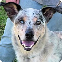 Adopt A Pet :: Merle - Texico, IL