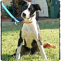 Adopt A Pet :: Puppy Laguana - Austin, TX