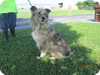 Australian Shepherd Dog for adoption in Mount Sterling, Kentucky - Sadie
