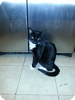 Domestic Shorthair Cat for adoption in Baltimore, Maryland - Tuxedo (COURTESY POST)