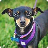 Miniature Pinscher Dog for adoption in Milpitas, California - Tina