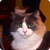 Domestic Mediumhair Kitten for adoption in Covington, Kentucky - Xuxa