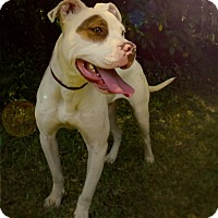 American Bulldog Dog for adoption in Warner Robins, Georgia - Bingo