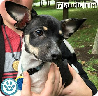 Chihuahua Mix Puppy for adoption in Kimberton, Pennsylvania - Marlin