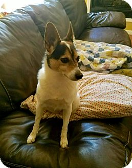 Fox Terrier (Smooth) Dog for adoption in New Kensington, Pennsylvania - Izzy