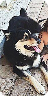 Siberian Husky/German Shepherd Dog Mix Dog for adoption in Clearwater, Florida - Balthazar