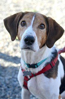 Treeing Walker Coonhound Dog for adoption in Linden, New Jersey - HUNTER