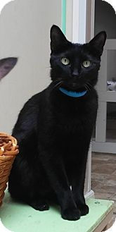 Domestic Shorthair Cat for adoption in Dallas, Texas - ALFIE