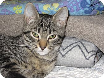 Domestic Shorthair Kitten for adoption in Richfield, Ohio - Charli