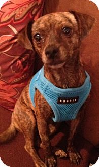Chihuahua/Dachshund Mix Dog for adoption in Studio City, California - Iris