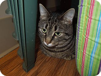 Domestic Shorthair Cat for adoption in Medina, Ohio - Lulu