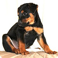 Adopt A Pet :: *Stallone - PENDING - Westport, CT