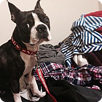 Adopt A Pet :: Colby Jack - Chicago, IL