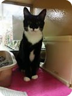 Domestic Shorthair Cat for adoption in Trenton, New Jersey - M&M (MP)