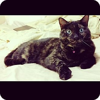 Domestic Shorthair Cat for adoption in Toronto, Ontario - Meredith