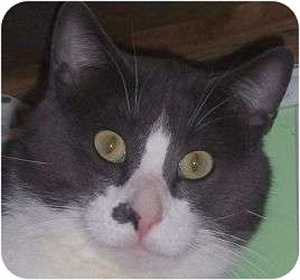 Domestic Shorthair Cat for adoption in Andover, Kansas - Remmi
