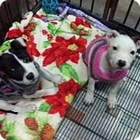 Adopt A Pet :: Nikki - Mesa, AZ