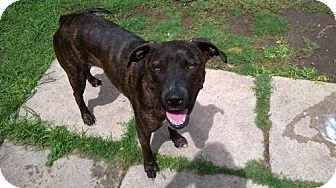 Plott Hound/American Staffordshire Terrier Mix Dog for adoption in Von Ormy, Texas - Wendy