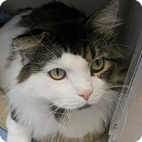Domestic Longhair Cat for adoption in Denver, Colorado - Grady