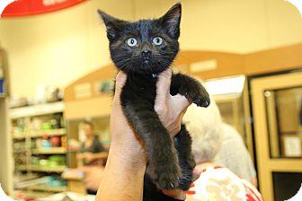 Domestic Shorthair Kitten for adoption in Rochester, Minnesota - Azrael