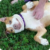 Adopt A Pet :: Urgent!foster or adopt! Spock - Shrewsbury, NJ