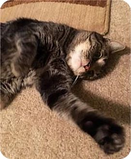 Domestic Shorthair Cat for adoption in Sacramento, California - Linus